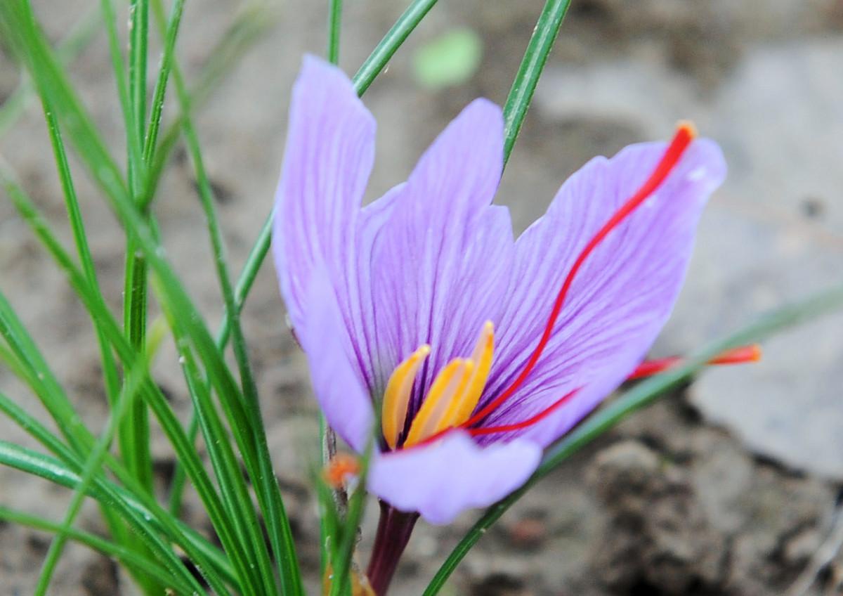 The Surprisingly Beautiful Origin Saffron