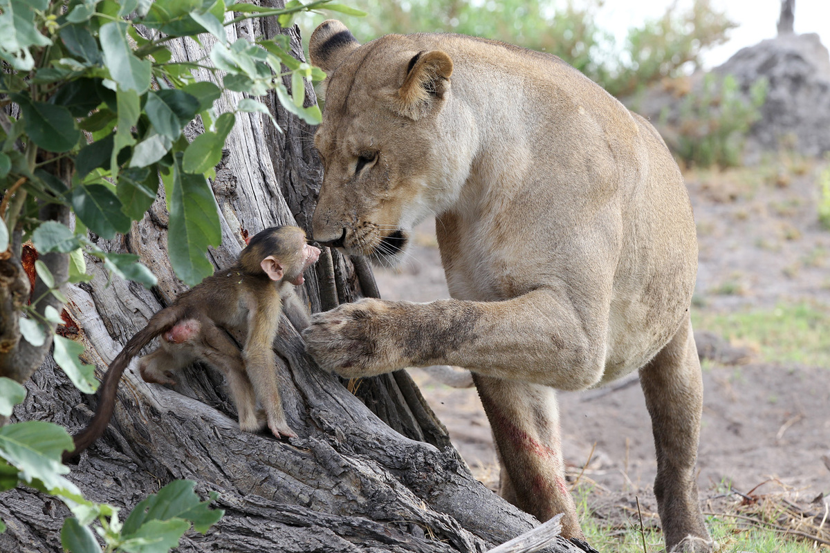 A Baboons But Lioness Has Inc...
