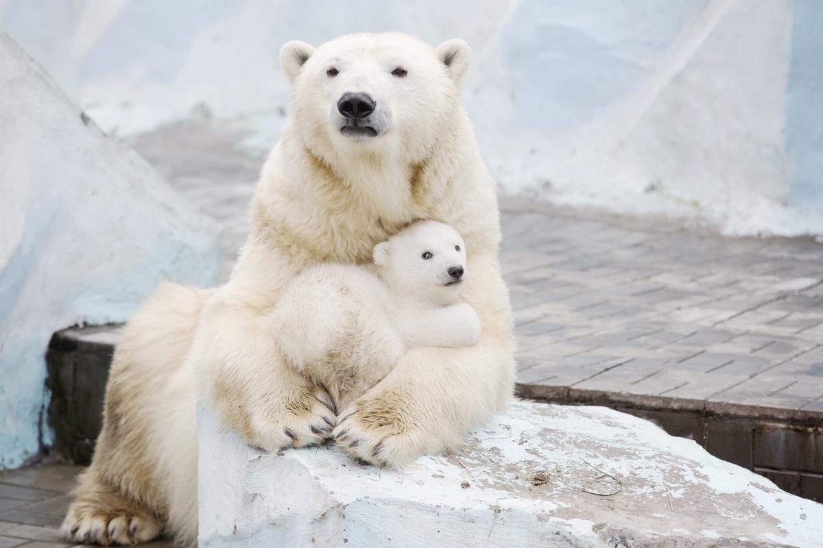 Polar bear with cubs - photo#23