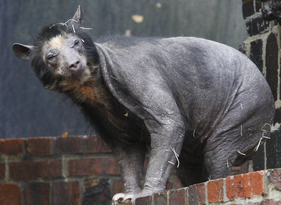 shaved grizzly bear