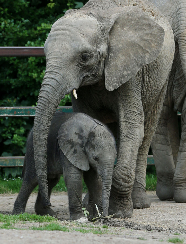 Elephants Protect Baby From Being Swept Away By River
