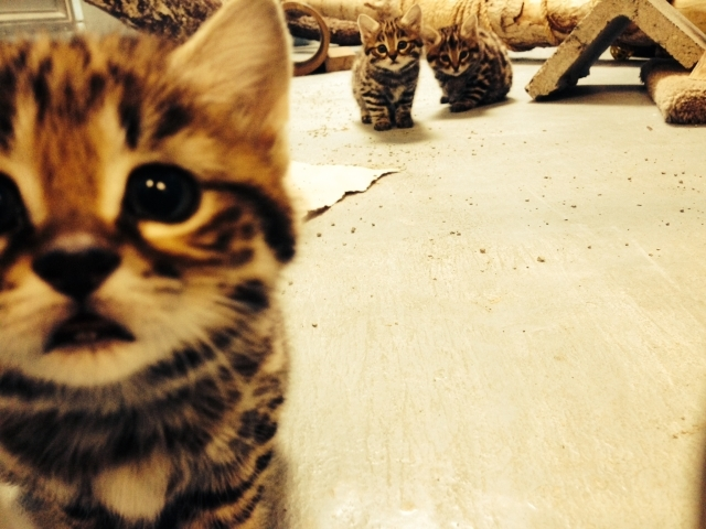 Philadelphia Zoo Welcomes Black Footed Cat Kittens And We