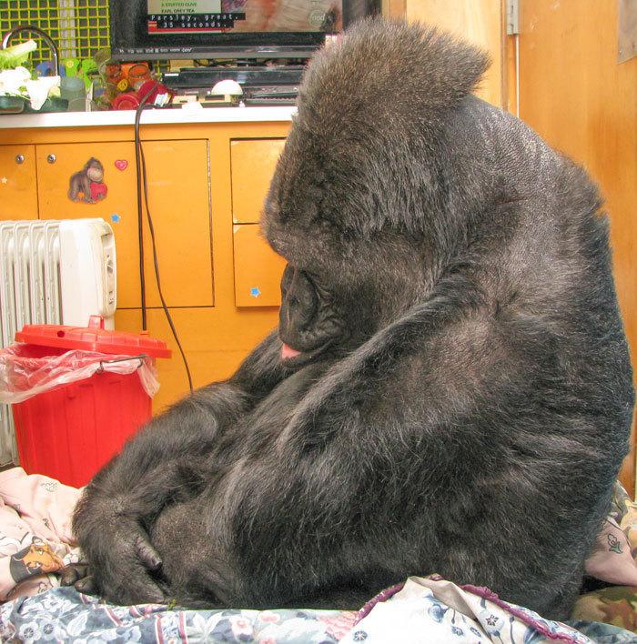 koko the gorilla - photo #13