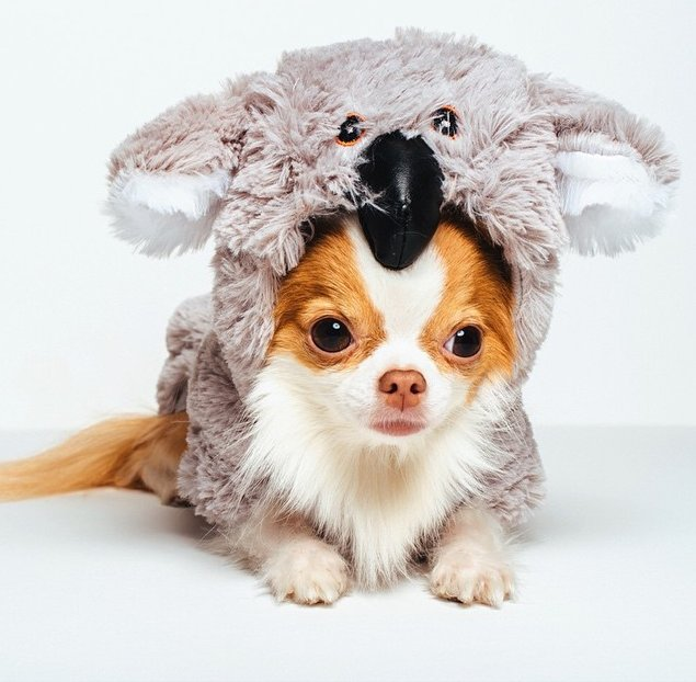 chihuahua costume - 28 images - chihuahua in a taco ...