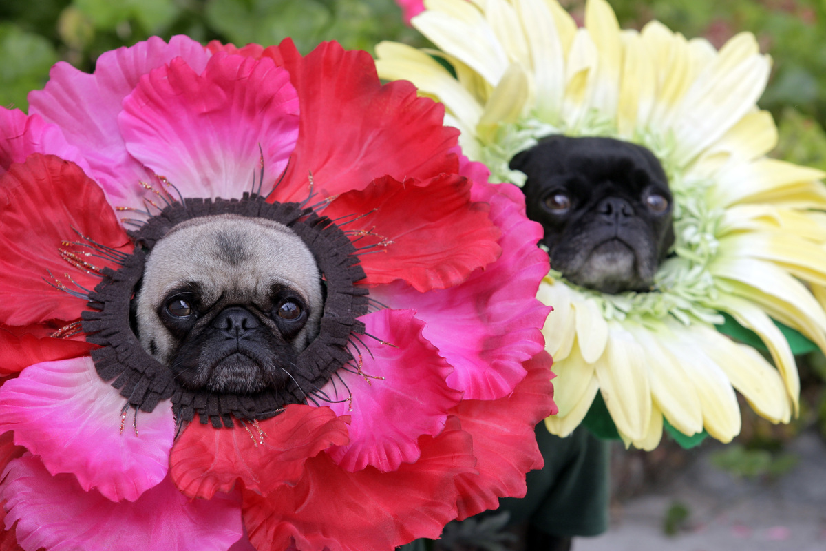also on huffpost 18 pets halloween costumes - Pugs Halloween Costumes