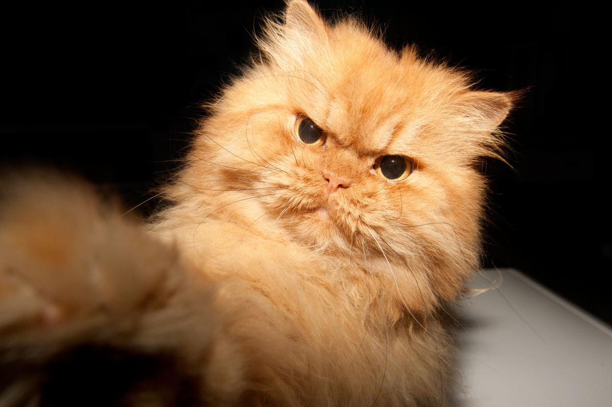 Garfi Is Officially The Angriest Cat On The Internet - Garfi is officially the worlds angriest cat