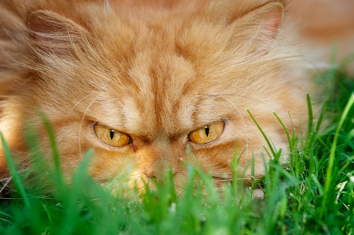 Meet Garfi The Angriest Cat On The Internet World Observer Online - Garfi is officially the worlds angriest cat