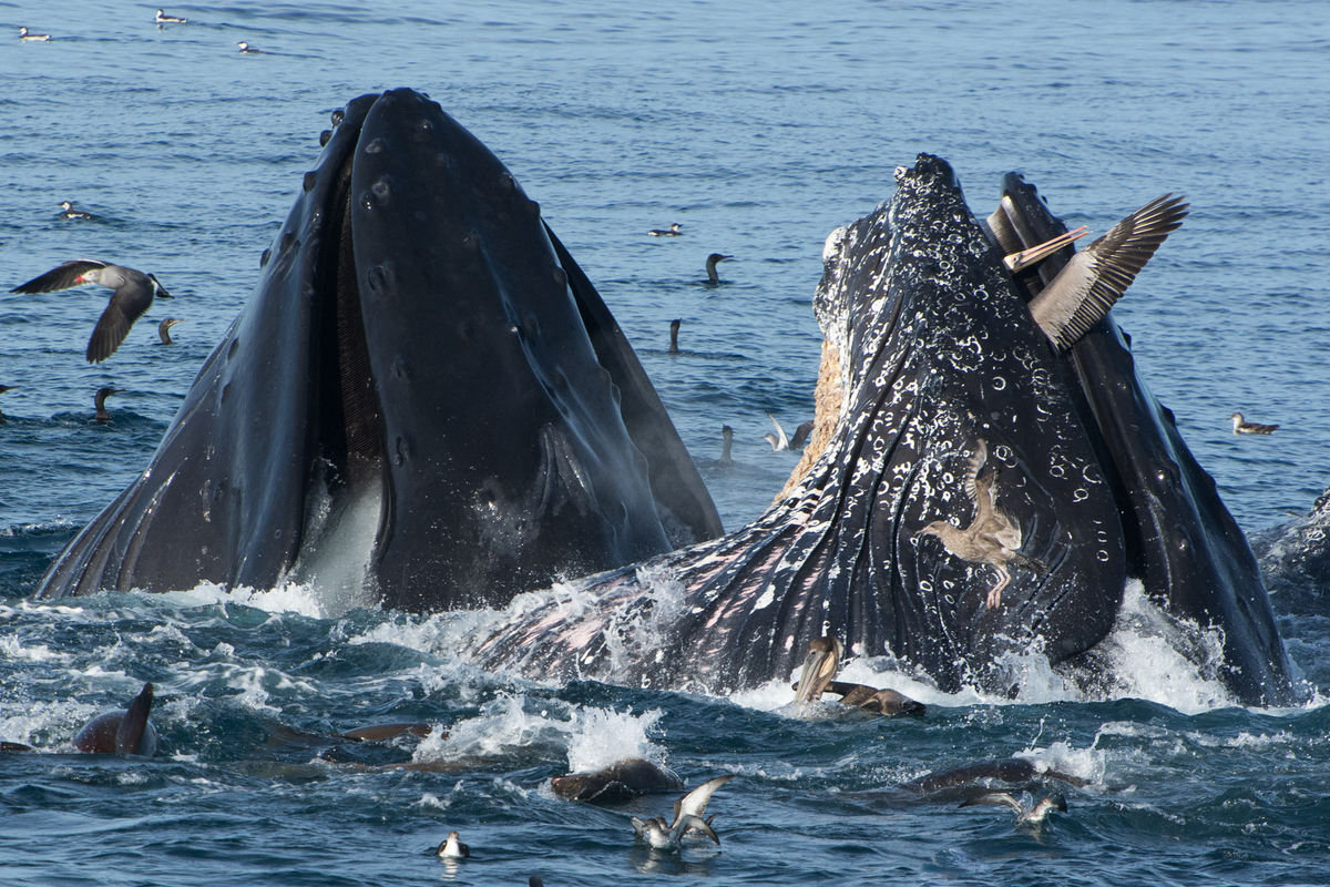 Pelican gets trapped in whale 39 s mouth all for the love of for The fish that ate the whale