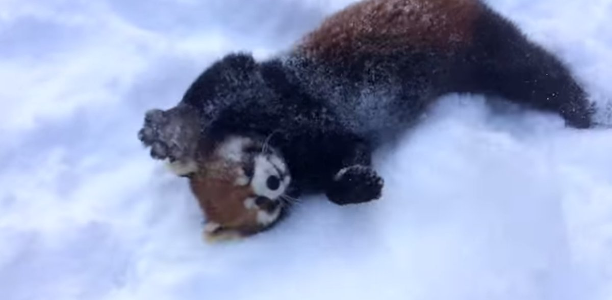 These Red Pandas Playing In The Snow Will Make Your Day