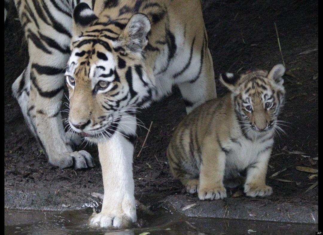 Μία τίγρη Σιβηρίας με το μωρό της ...