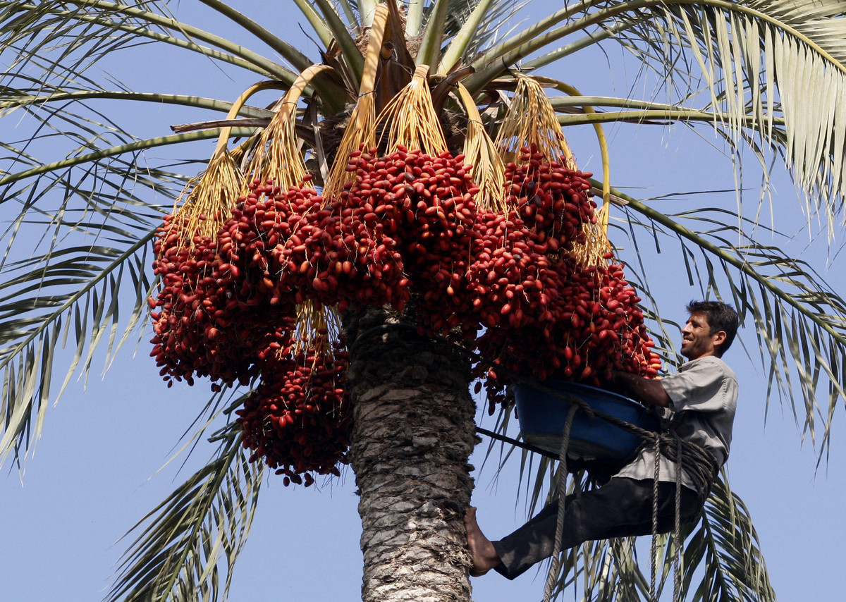 How are Dates Grown? Harvesting Dates at Dateland Date Gardens