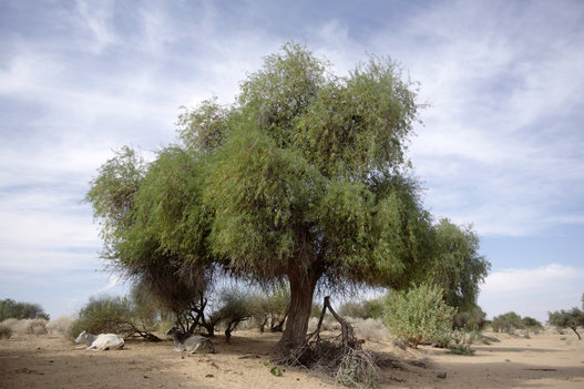 photos here are 22 of delhis most beautiful native trees