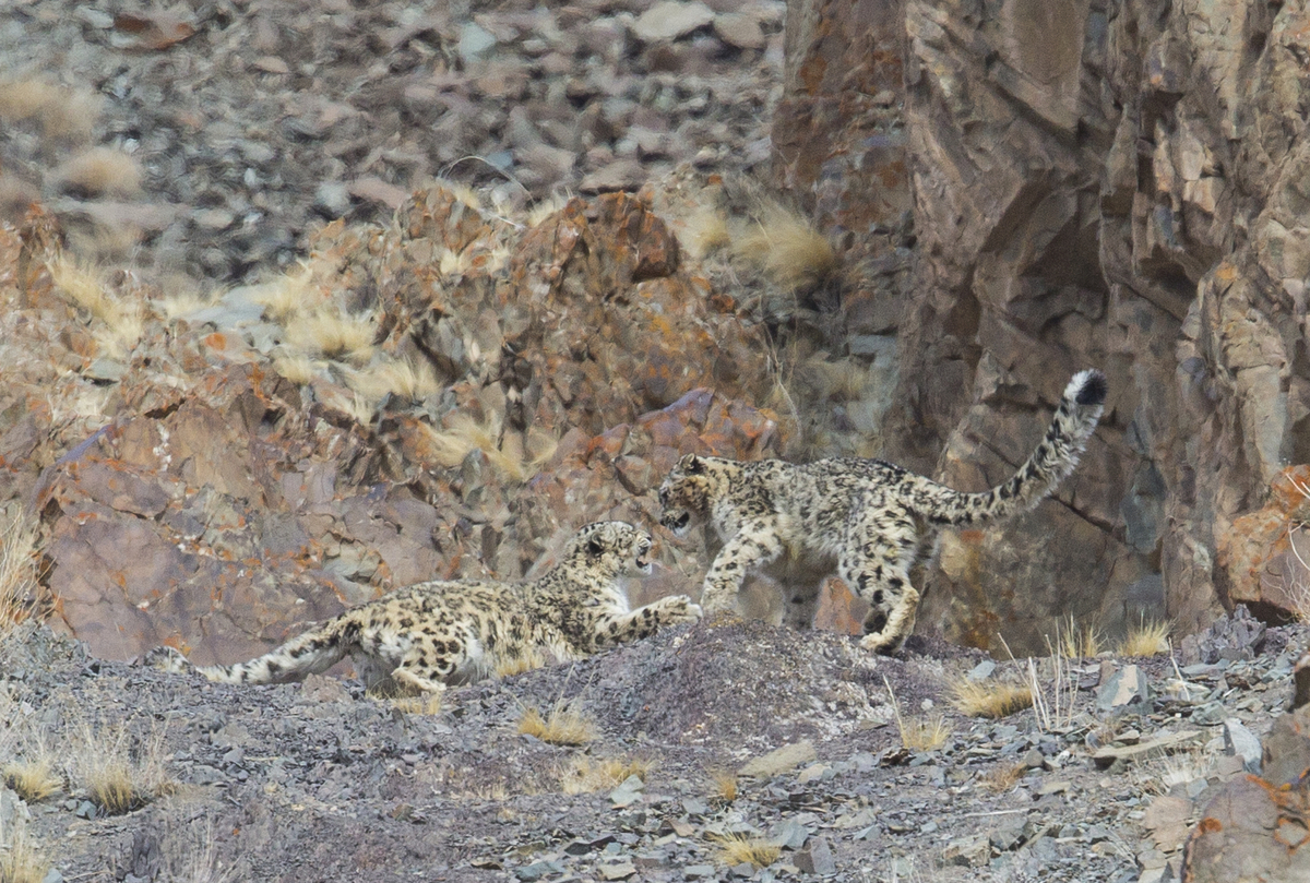 Spot The Snow Leopard: Incredible Pictures Show ...