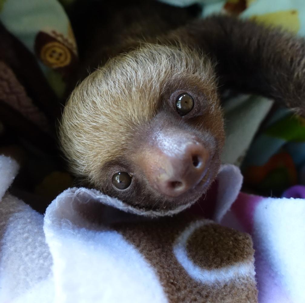 Cute Baby Sloths Learn To Climb : videos - reddit.com