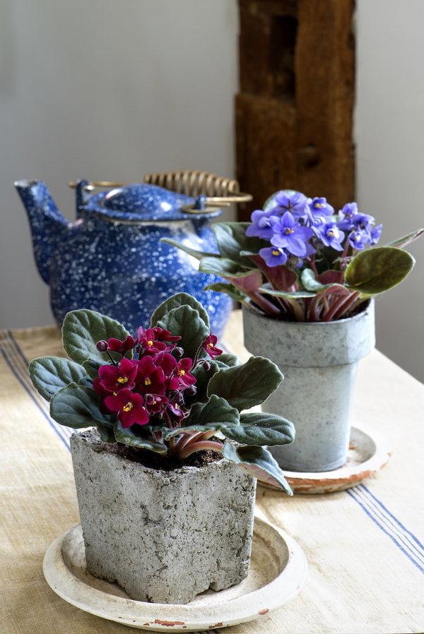 Violette africaine plante zz ou pins de norfolk ces for Violette africane