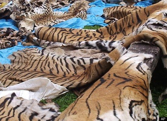 Siberian tigers poaching - photo#53