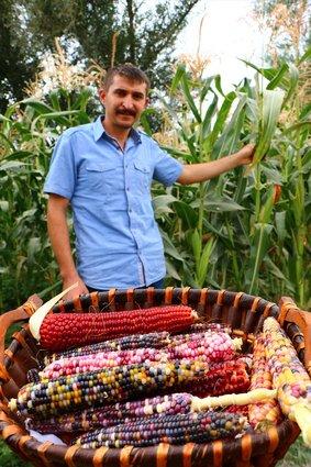 شاهدها في فيلم وثائقي فبدأ رحلة البحث عنها حتى جلبها إلى أرضه.. مزارع تركي ينتج ذرة بتسعة  Slide_523792_7390722_compressed
