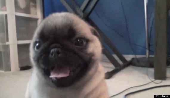 pug puppy surprise