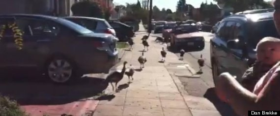 TURKEYS INVADE EAST BAY