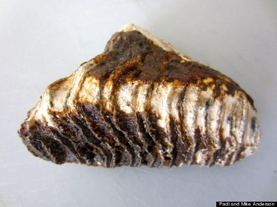 mammoth tooth