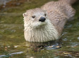 Pollution May Be Shrinking Otter Penises; Scientists Say Research Is 'Warning' For Humans