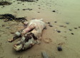 'Beast Of Tenby,' Mysterious Creature, Found On UK Beach; Experts Weigh In (PHOTO)