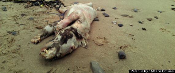 Beast Of Tenby,' Mysterious Creature, Found On UK Beach; Experts ...: www.huffingtonpost.com/2013/02/28/beast-of-tenby-creature-found...