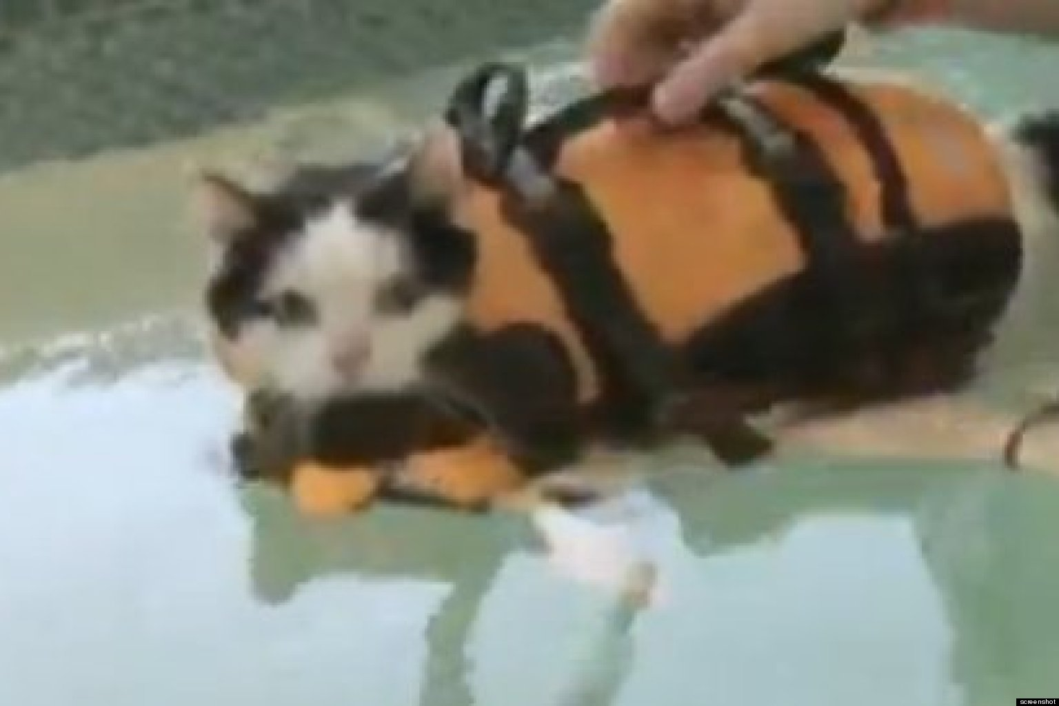 overweight cat swims to lose weight