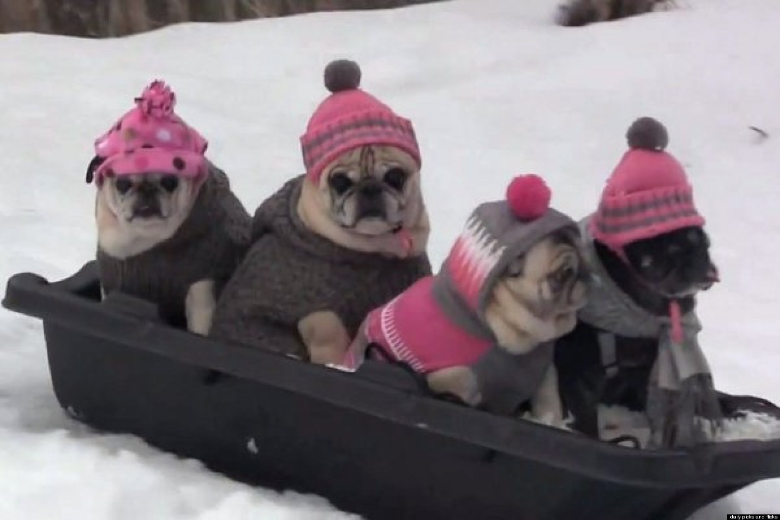 Pug Party The Cutest Dogs Go Sledding Video Huffpost