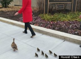 LOOK: Adorable Ducks Take A Guided Tour Through D.C.