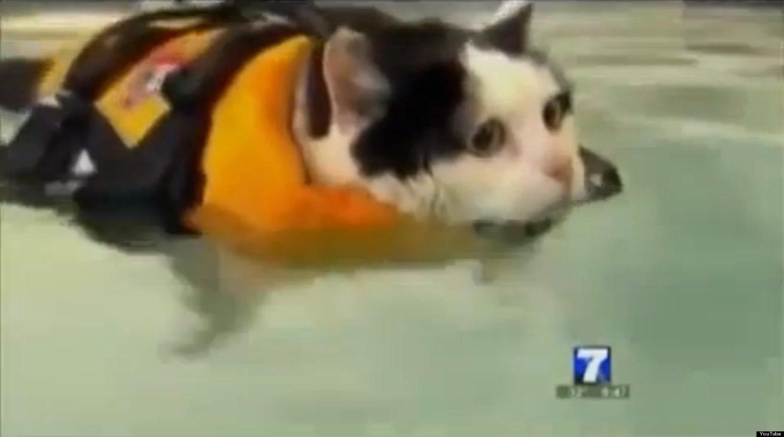Funny Fat Cats Videos a Fat Cat Swimming Video
