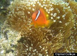 Clownfish Sea Anemone