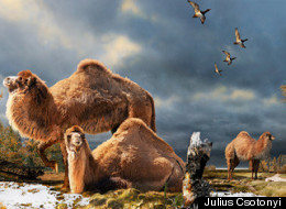 WATCH: Huge Ancient Camels Lived Far North, Fossil Find Suggests