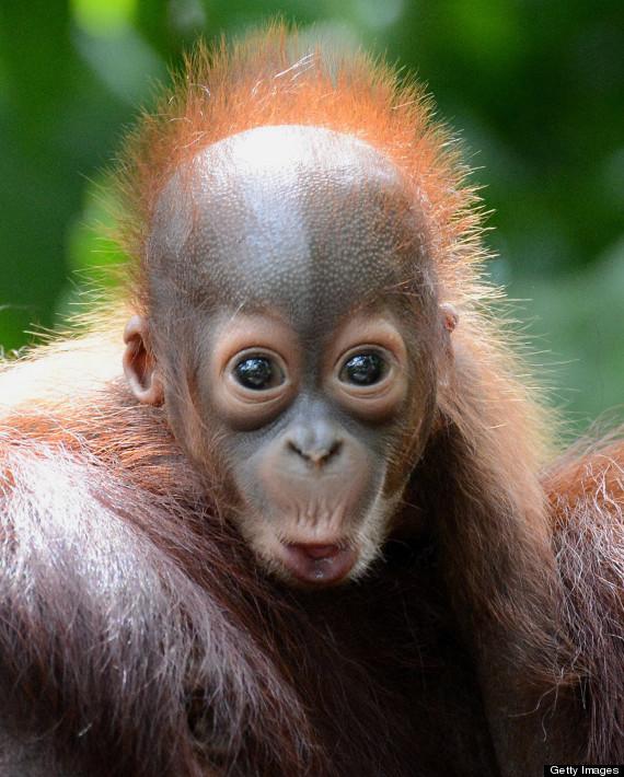 bornean orang utan