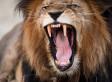 Lion Allegedly Kills Zimbabwe Woman Having Sex In Bush: Report