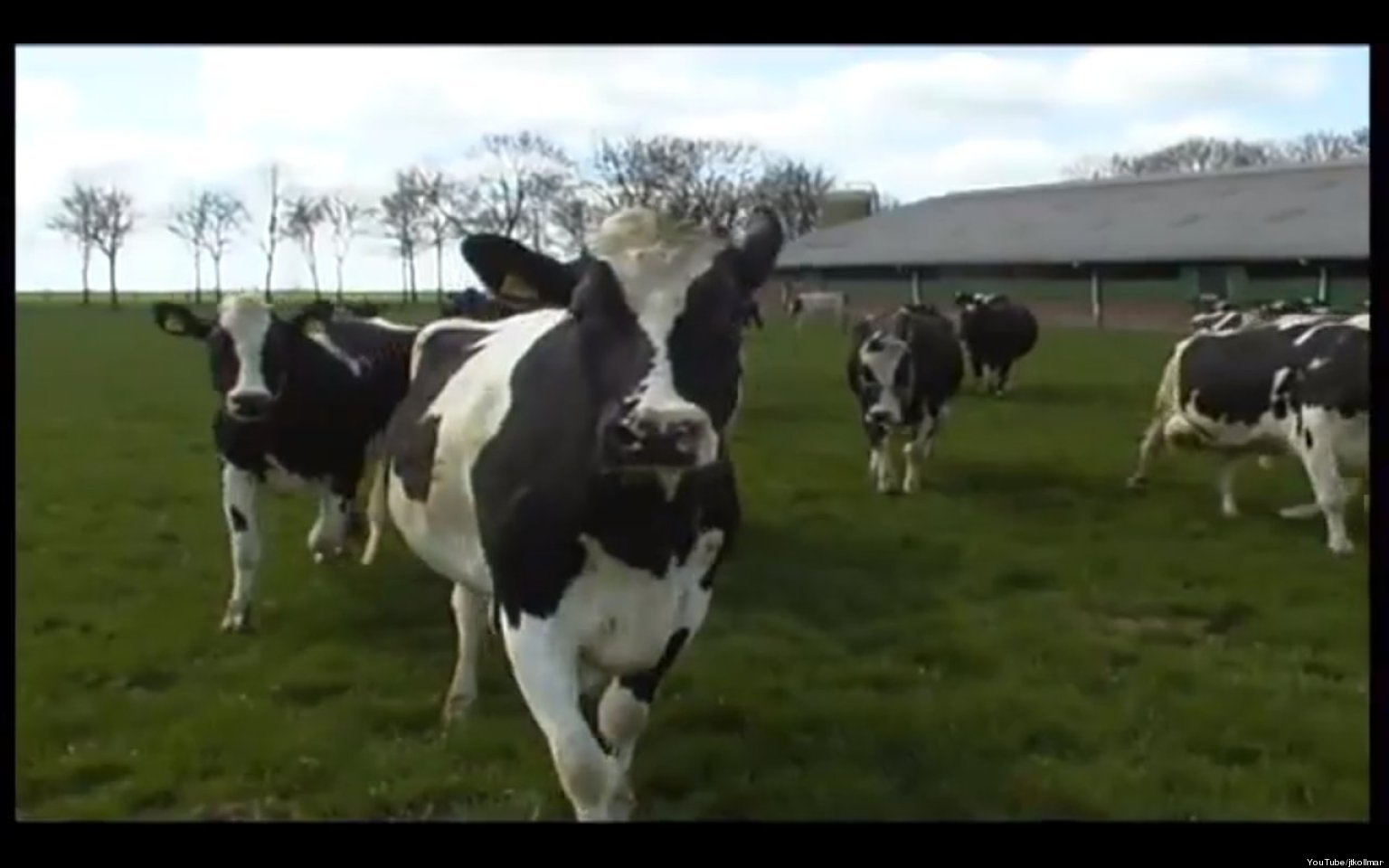 beemsters dancing cows greet spring greens with