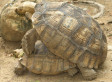 Mating Tortoises Cause Fire: Alf, Glayner Clayton's Pets Start Blaze Doing The Slow And Steady
