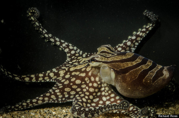 kissing octopus