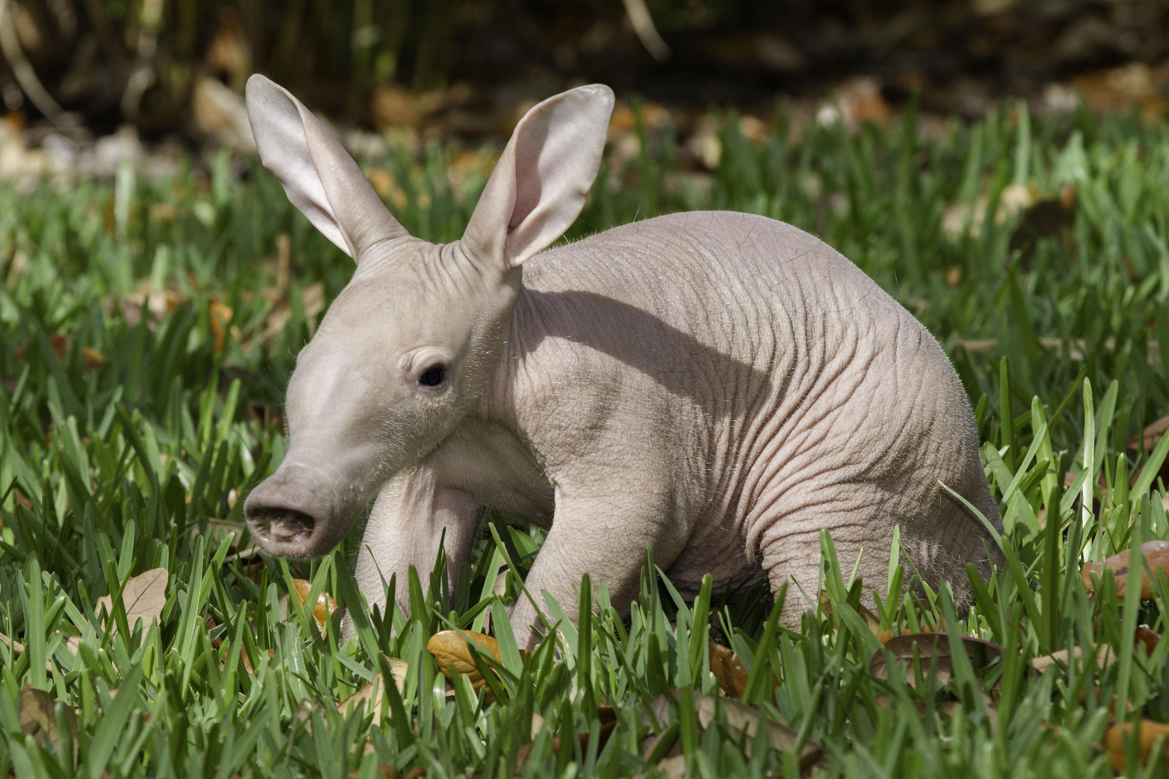 busch gardens baby aardvark