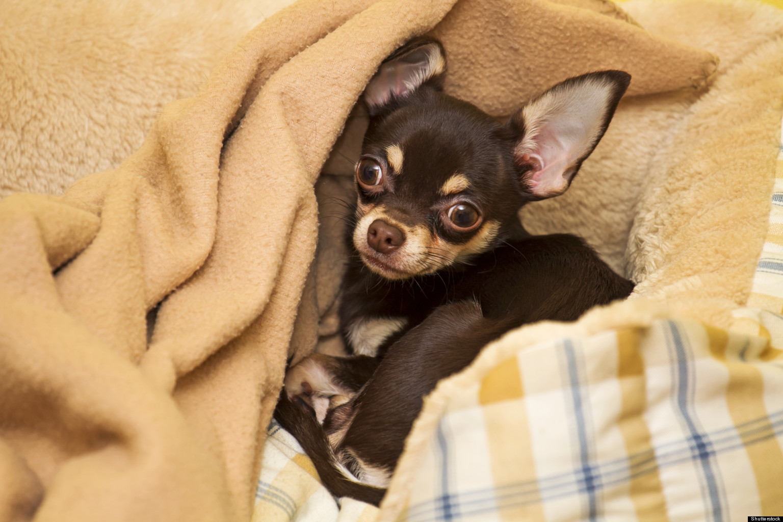 chihuahua in a suitcase huffpost. Black Bedroom Furniture Sets. Home Design Ideas