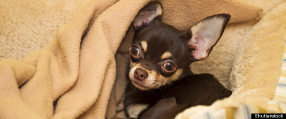 California Chihuahua Rescue: Authorities Seize 36 Chihuahuas At Two ...