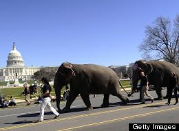 LOOK: Elephants Walking Through Downtown D.C.
