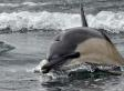 Reports Of Ukrainian Attack Dolphins On The Loose A Hoax