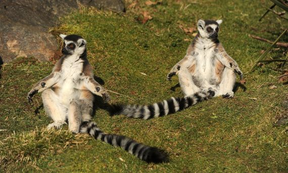 lemurs