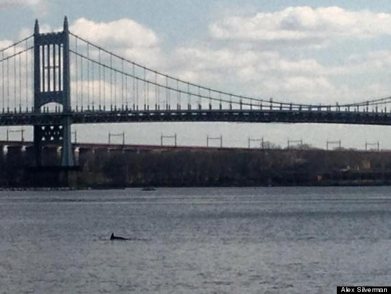 dolphin east river