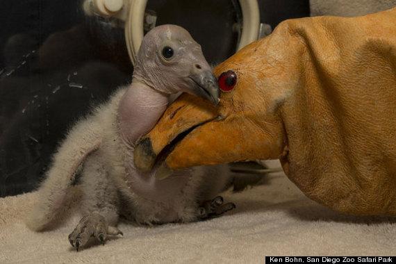 condorchick san diego zoo california