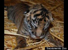 ZooBorns Round-up: Tiger Cubs, Otter Pups & Dik-Diks!