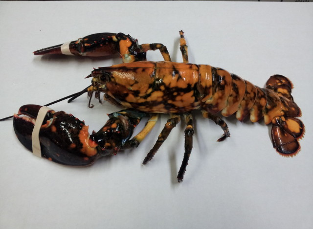 eddie calico lobster