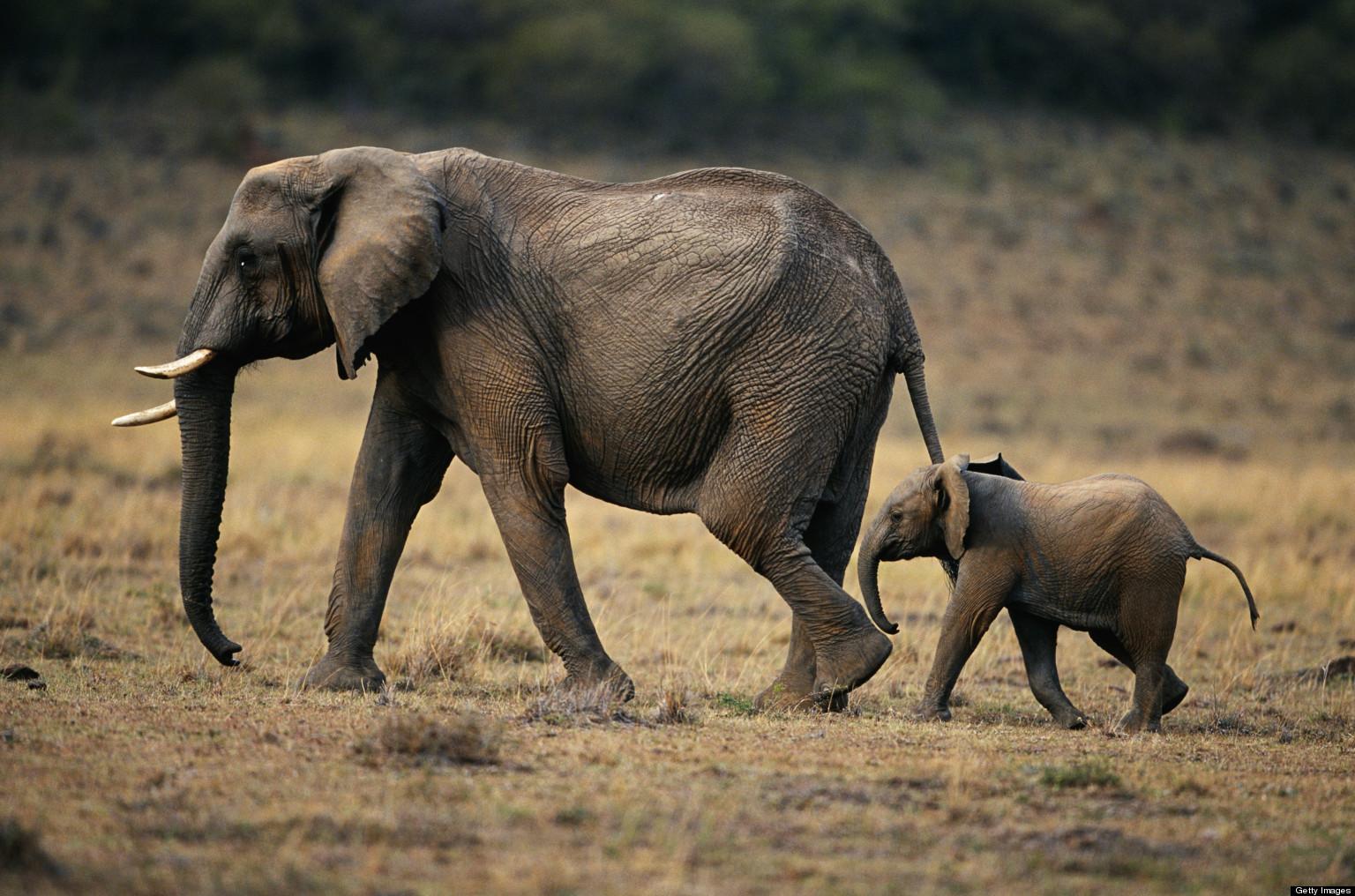 The Orphaned Elephants in Gorongosa   HuffPost