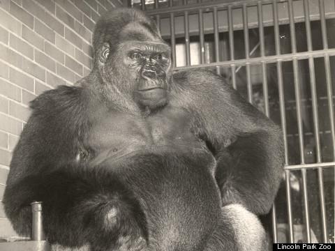 bushman gorilla adult